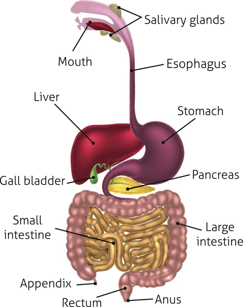 The function of the pancreas and its enzymes in digestion
